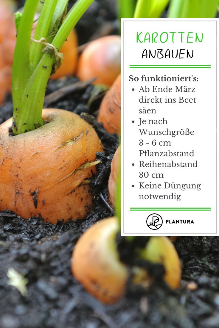 Karotten pflanzen und anbauen: Experten-Tipps - Plantura