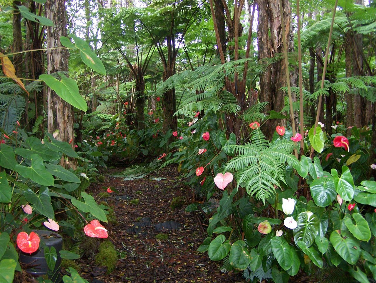 This Will Be The Look Of The Rainforest Garden When The Anthurium