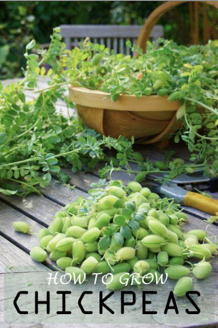Pods Are Ready To Harvest Veggie Garden Container Gardening Vegetables Vegtable Garden