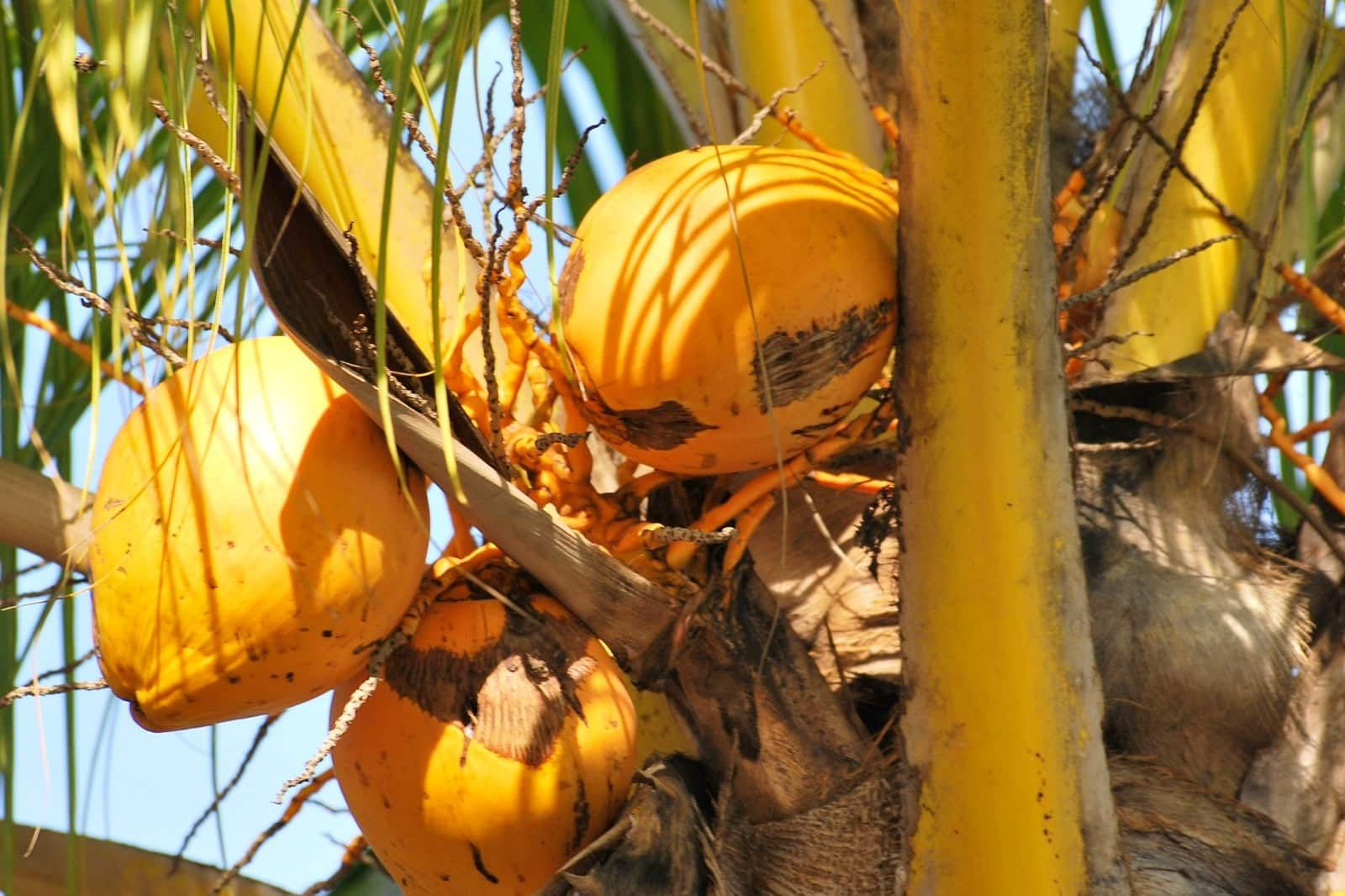 10 Best Tropical Fruits To Try In Bali Most Popular Balinese Fruits In 2020 Tropical Fruits Coconut Images Coconut