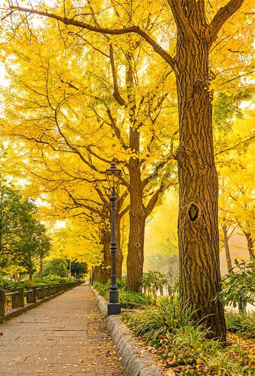 A row of ginkgo trees at Yamashita Park in Yokohama, Japan. (Ko.Yo)