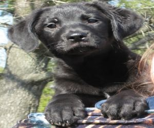 Carlisle Courtesy Listing Is An Adoptable Labrador Retriever Dog