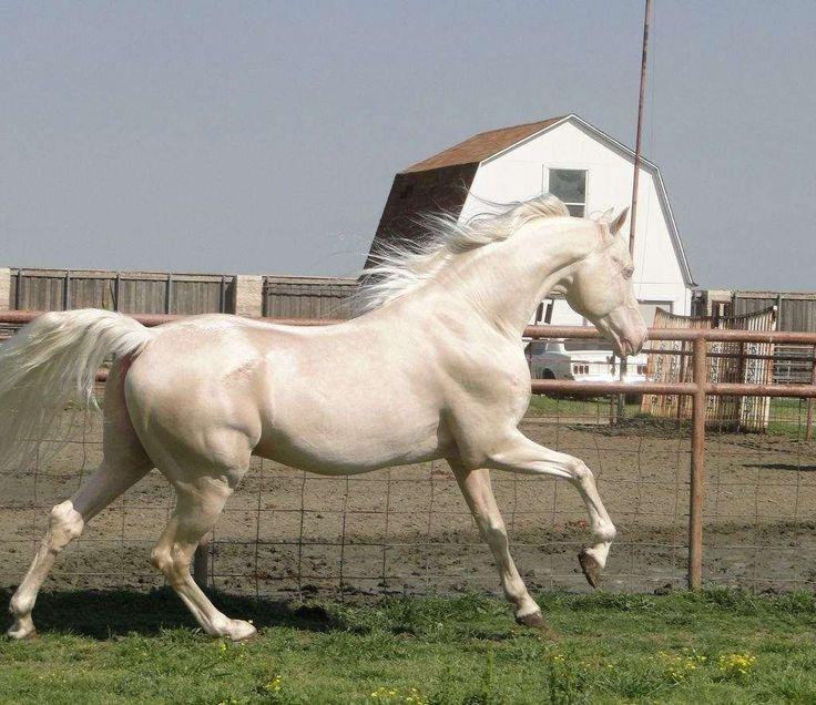 Cremello Saddlebred stallion
