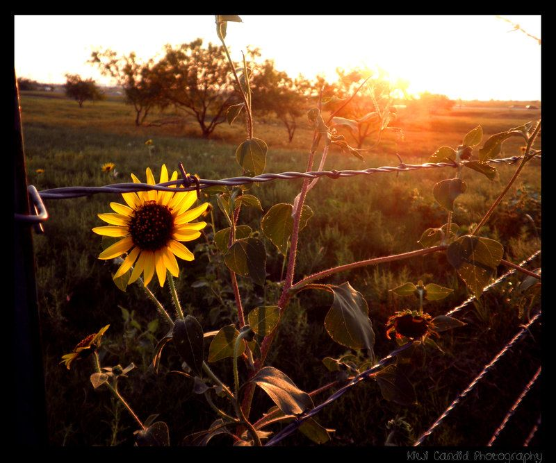 Sunflowers and barbed wire fence