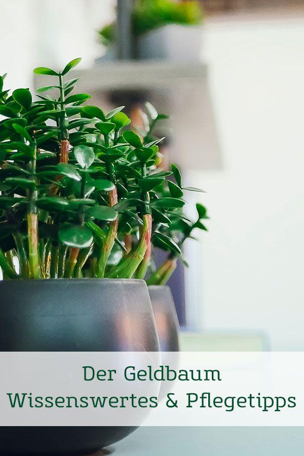 Geldbaum - Pflegetipps