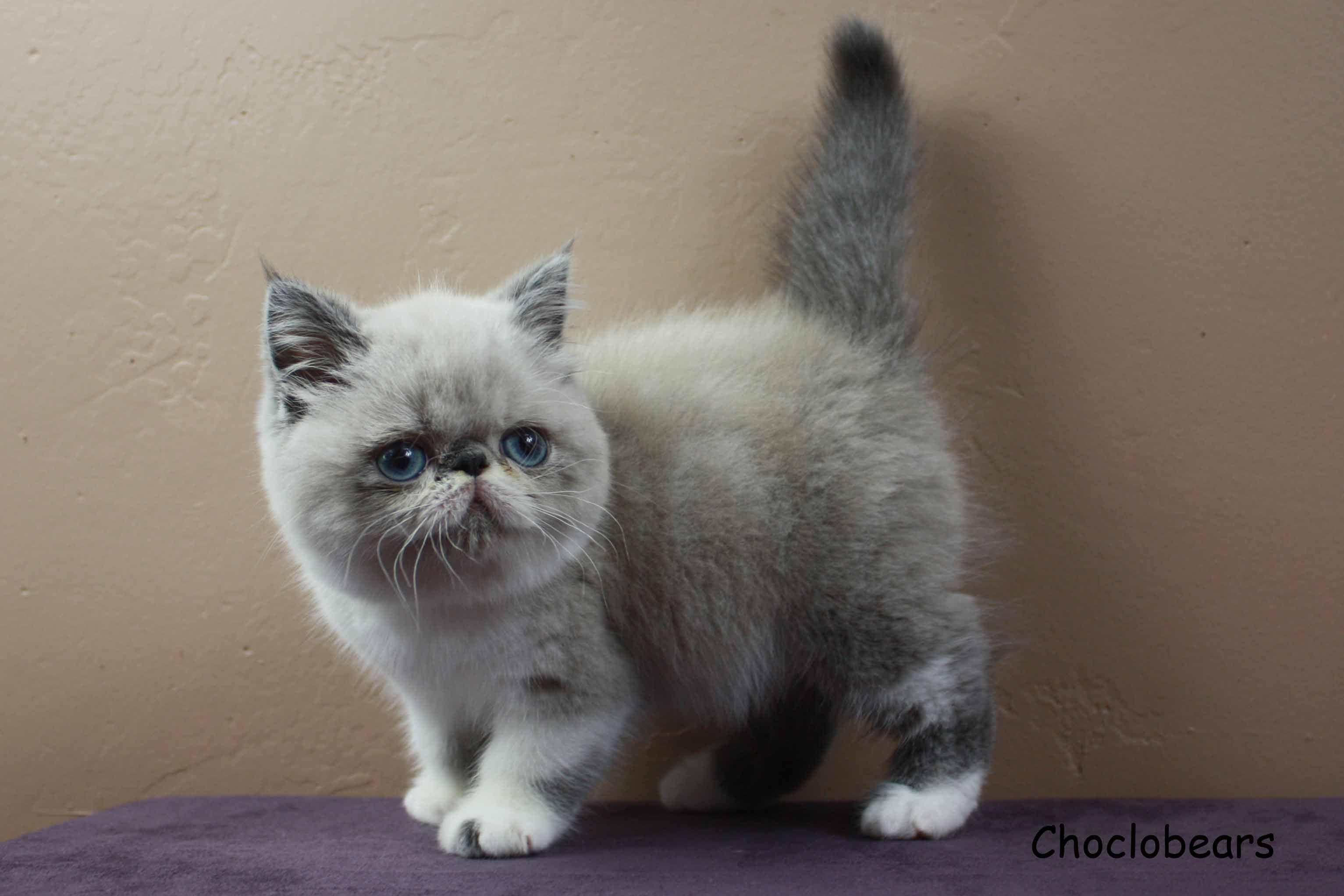 Pin En Choclobears Exotic Shorthair Persian And Himalayan Cats