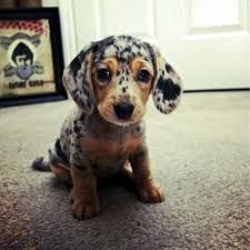 Cute Speckled Dachshund Pup Leopard Dog Dachshund Puppies