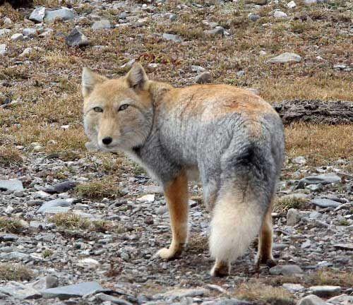 Normalnyj Kotij Yar On Twitter Tibetan Fox Pet Fox Most Beautiful Animals