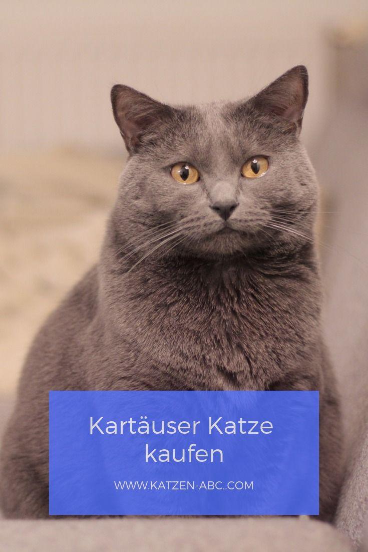 Eine Kartäuser Katze kaufen / Allgemeine Informationen