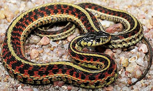 Garter Snake Common Friendly Looking Slender Slitherer With