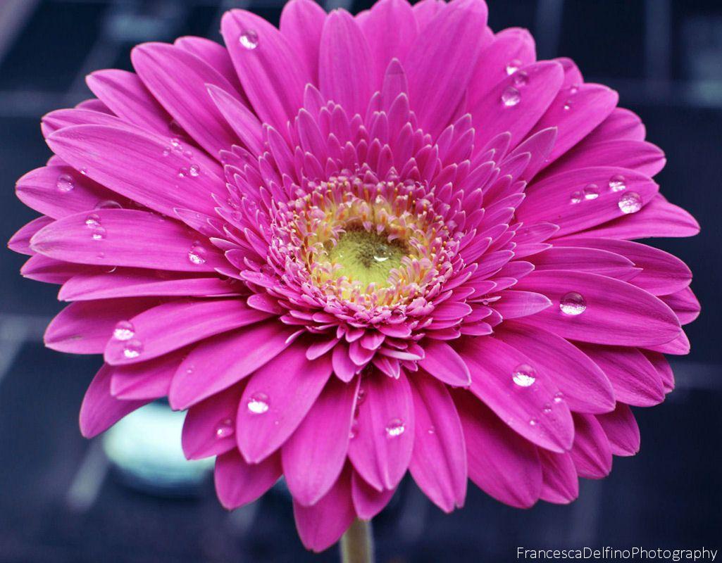 Hot Pink Gerbera daisy  | asterales