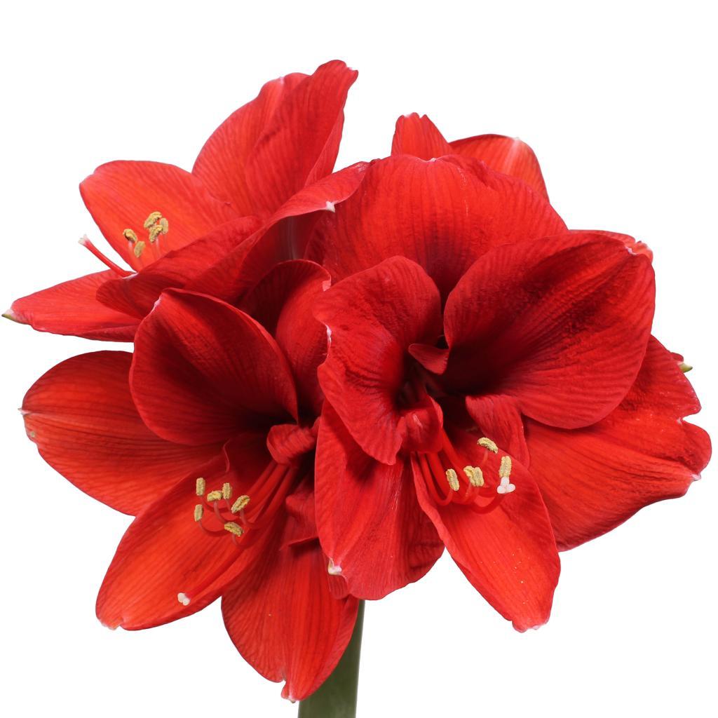 Amaryllis Ferrari 12 Stems Per Box 4 Blooms Per Stem 75cm Amaryllis Bulbs Amaryllis Flowers