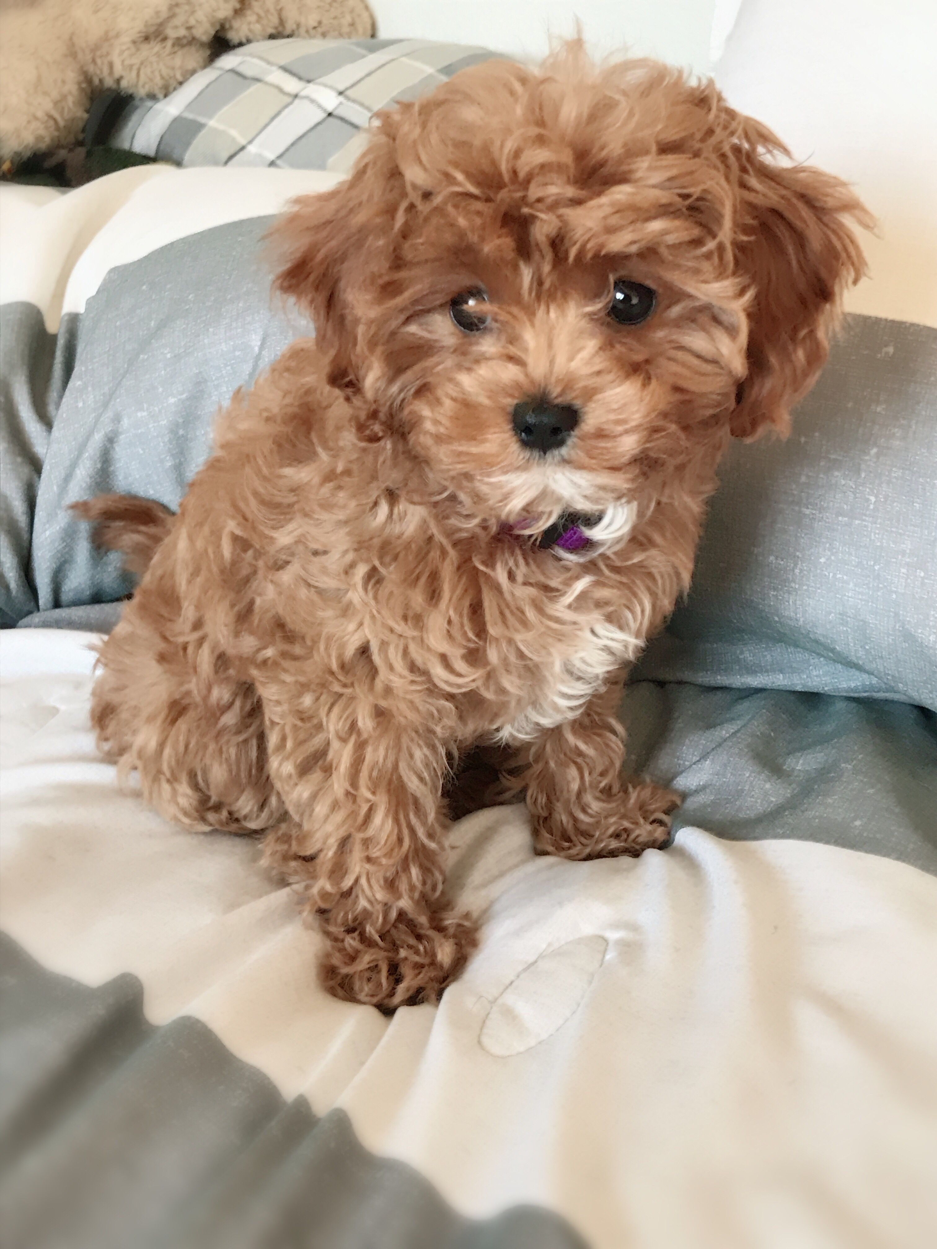 Cavapoo Cavapoo Puppies Cavapoo Puppies