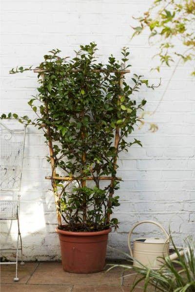 star jasmine on trellis 90 gardening star jasmine. Black Bedroom Furniture Sets. Home Design Ideas