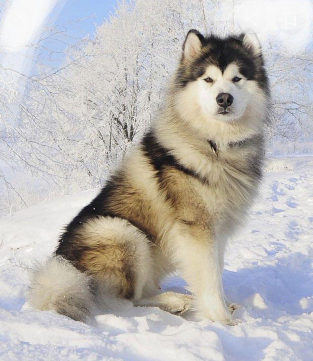 Pin By Taashvi Singh On My Saves In 2020 Alaskan Dog Dog Breeds Malamute Dog