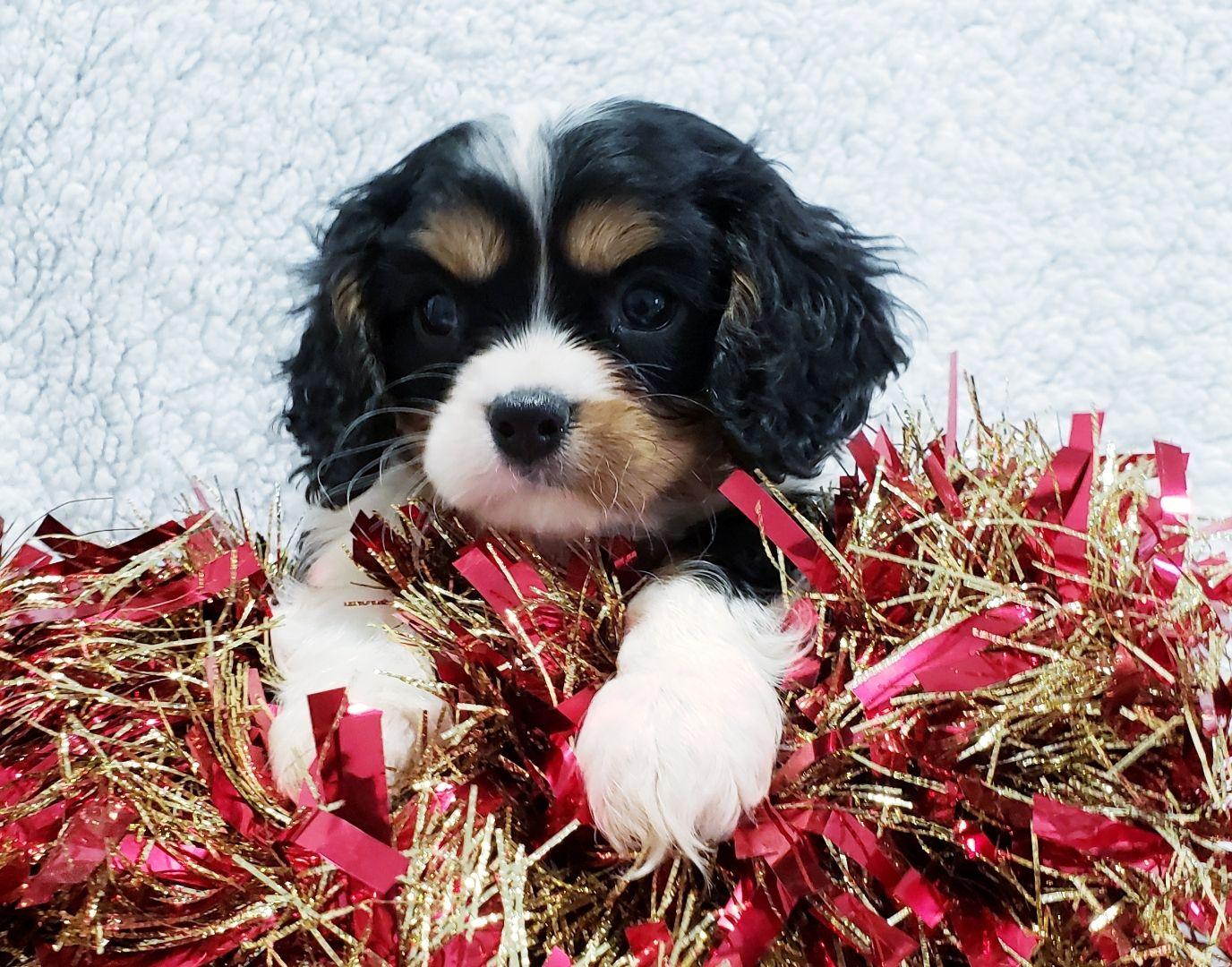 Puppies For Sale King Charles Cavalier Spaniel Puppy Lancaster Puppies Dog Breeder