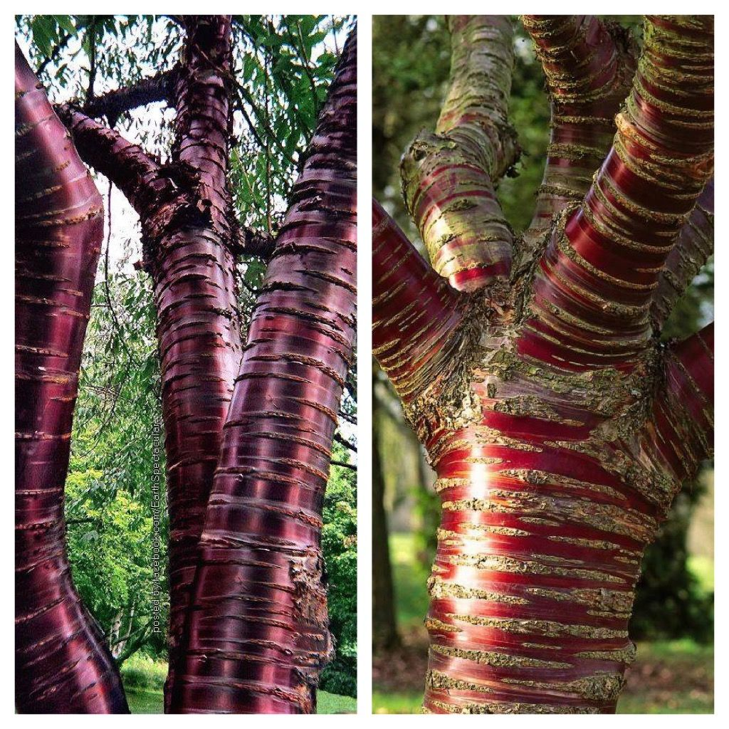 The Paperbark Cherry Or Tibetan Cherry Tree Is Known For Its Stunning Mahogany Red Bark As The Tree Ages Its Bark Peels Adding Cherry Tree Tree Unique Trees