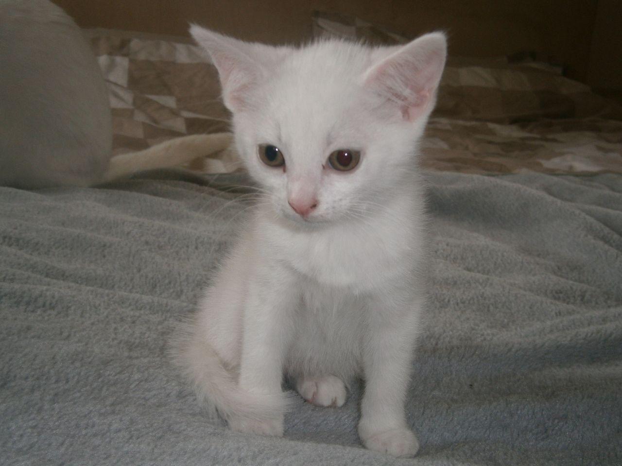 Russian White Kittens For Sale White kittens, White