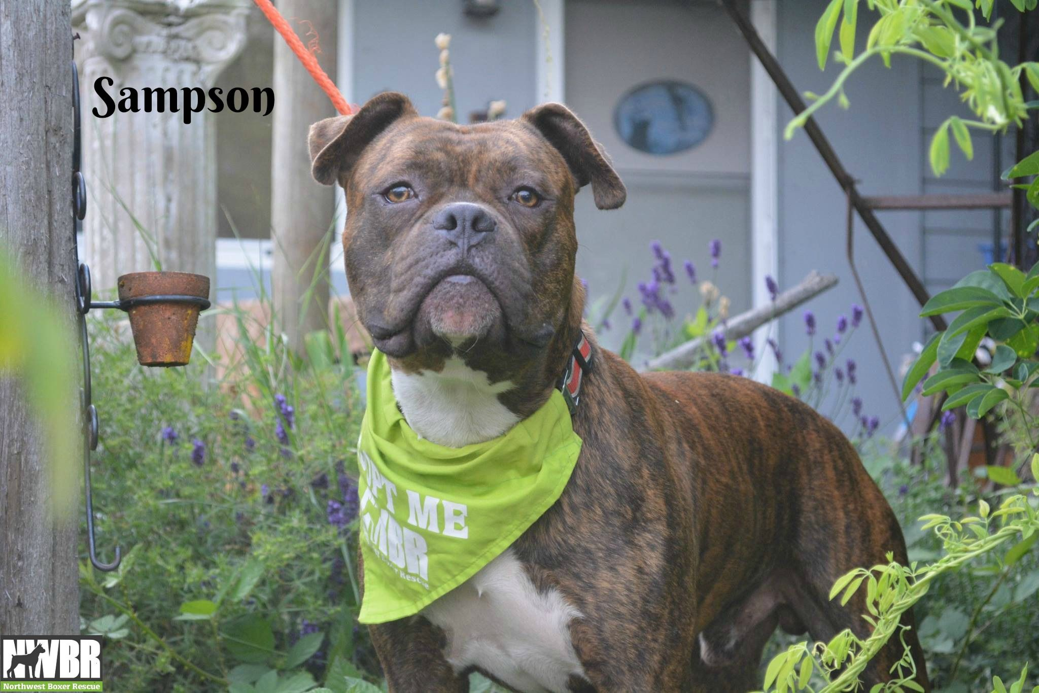 Boxer dog for Adoption in Woodinville, WA. ADN584298 on