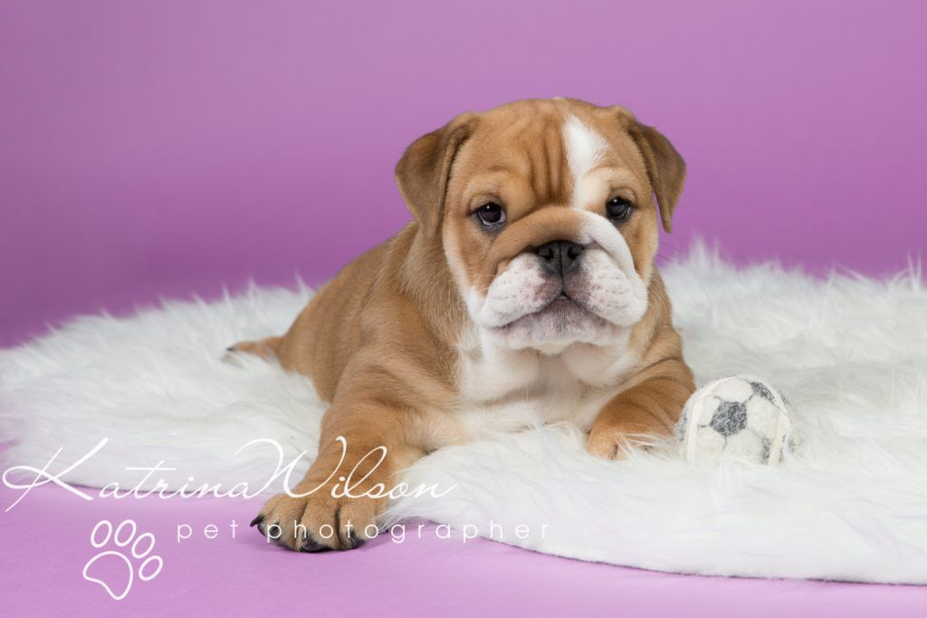 Cute Bulldog Puppy Pet Photo Dog Photographer Bedfordshire 1