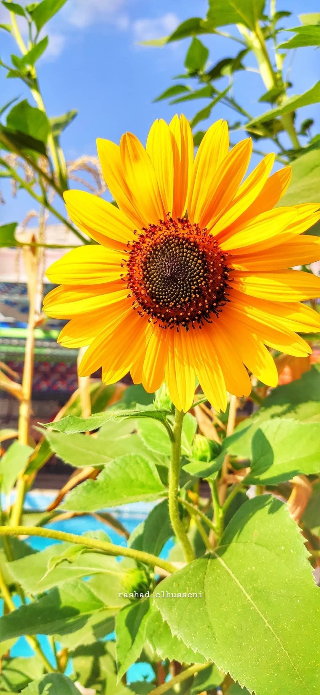 دوار الشمس عباد الشمس باقات زهور مسكات عرايس اكسبلورر وردي زهور انتي باقات ورد ورود جوري Photo Instagram Flowers