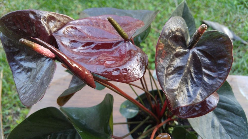 Anthurium Hybrid 39 Giant Chocolate 39 Is A Very Pretty Anthurium With Large Dark Red Almost Black Flowers This Plant Just Started To Bloom The Blooms Are