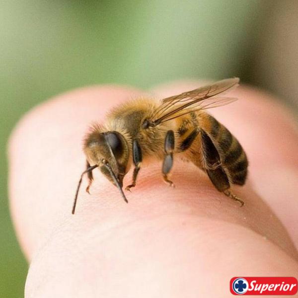 #TipSuperior  Las picaduras de insectos pero especialmente de las abejas son muy dolorosas, ¿alguna vez te ha picado una? Aunque la sensación es muy dolorosa, existen maneras de reducir los síntomas. A continuación te mostramos primeros auxilios básicos y remedios caseros para tratar esta clase de picaduras...