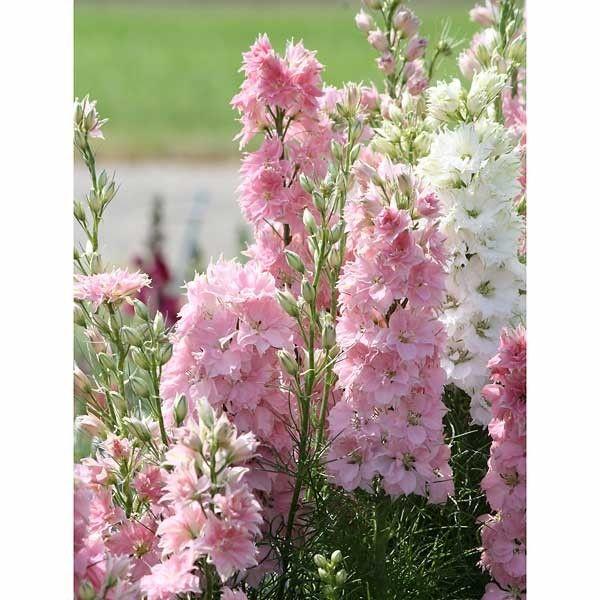 der einj hrige rittersporn 39 rose spire 39 delphinium consolida bl ht in einem hellem rosa pink. Black Bedroom Furniture Sets. Home Design Ideas