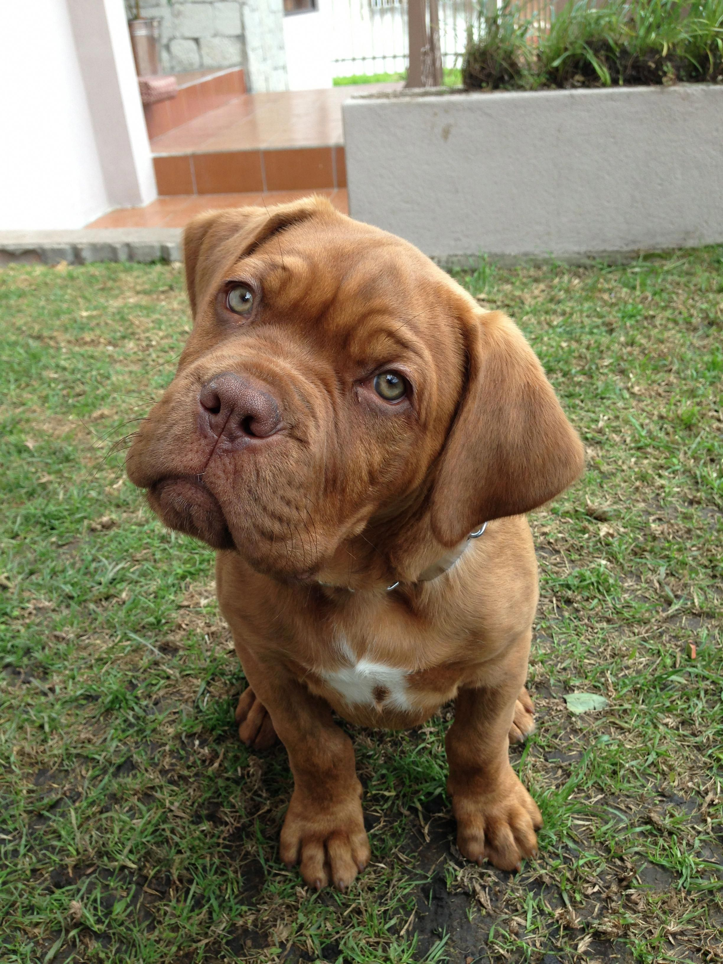 All About The Patient Big Mastiff Dogs Size