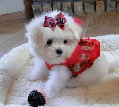Litter Trained Tiny Maltese Puppies Maltese Puppy Teacup