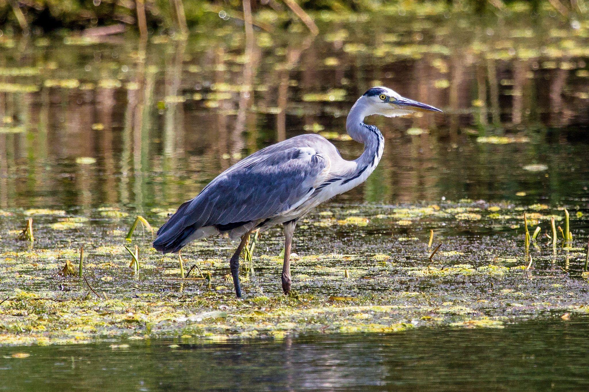 Grey heron - Garza Real en el Delta del Danubio.