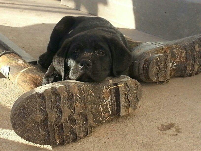 Black Lab Puppy Resting After Yard Work Black Lab Puppies Lab Puppy Puppies