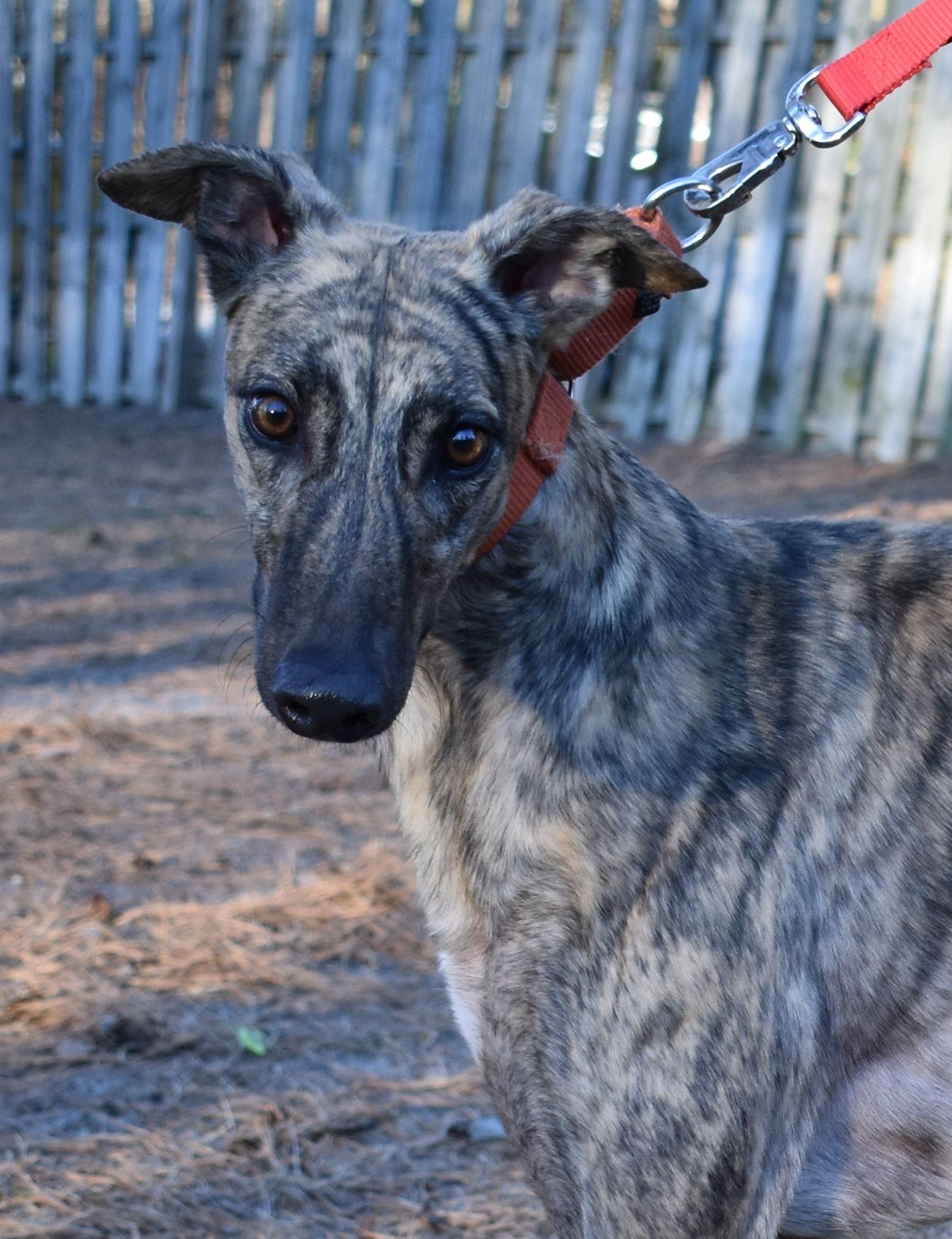 Greyhound Dog For Adoption In Cherry Hill Nj Adn 638869 On