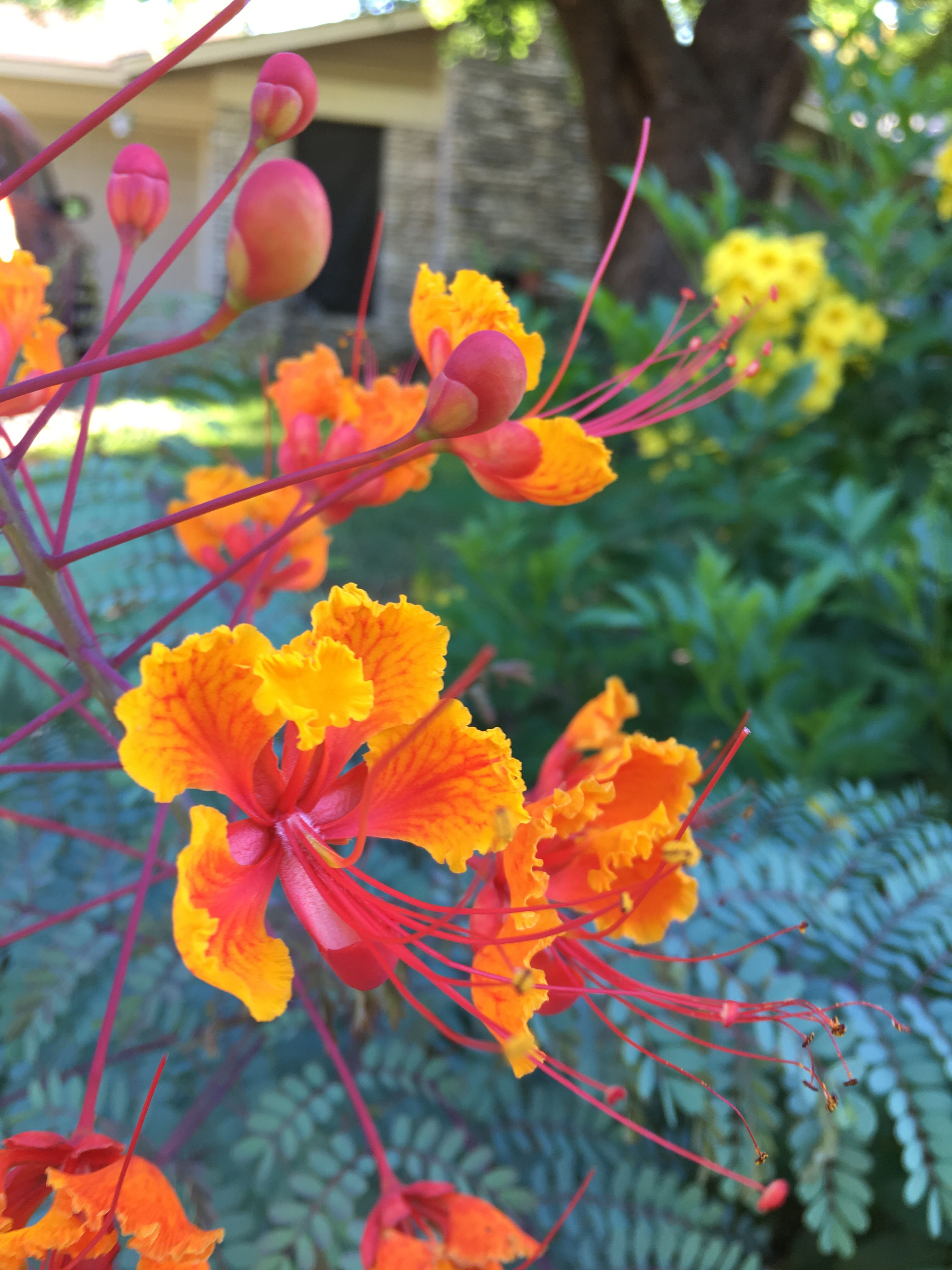 Caesalpinia Pulcherrima Pride Of Barbados Can Get Up To 8ft Tall