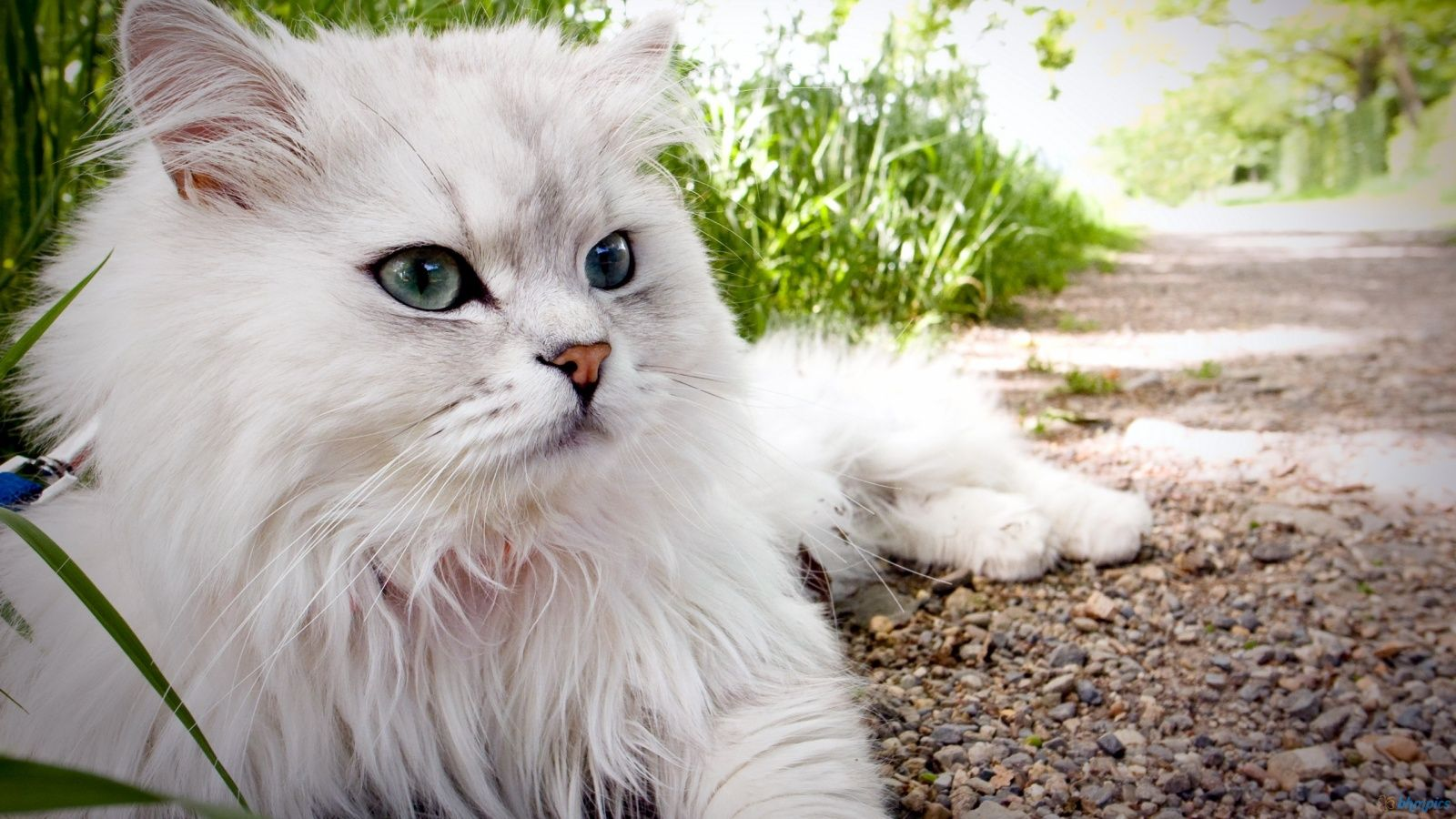 Striking Grey Persian Cats Hd Fluffy Cat Desktop Backgrounds