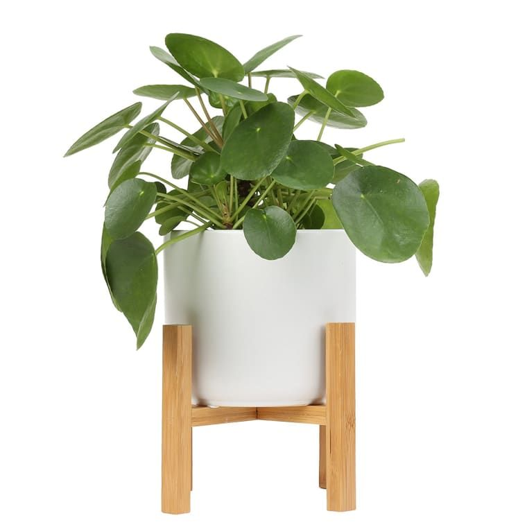 Photo Friendly Pilea Plants Are Cute And Easy To Care For 400 x 300