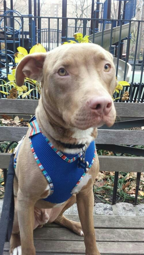 Lucky Is An Adoptable Dog In New York City Ny American Animals