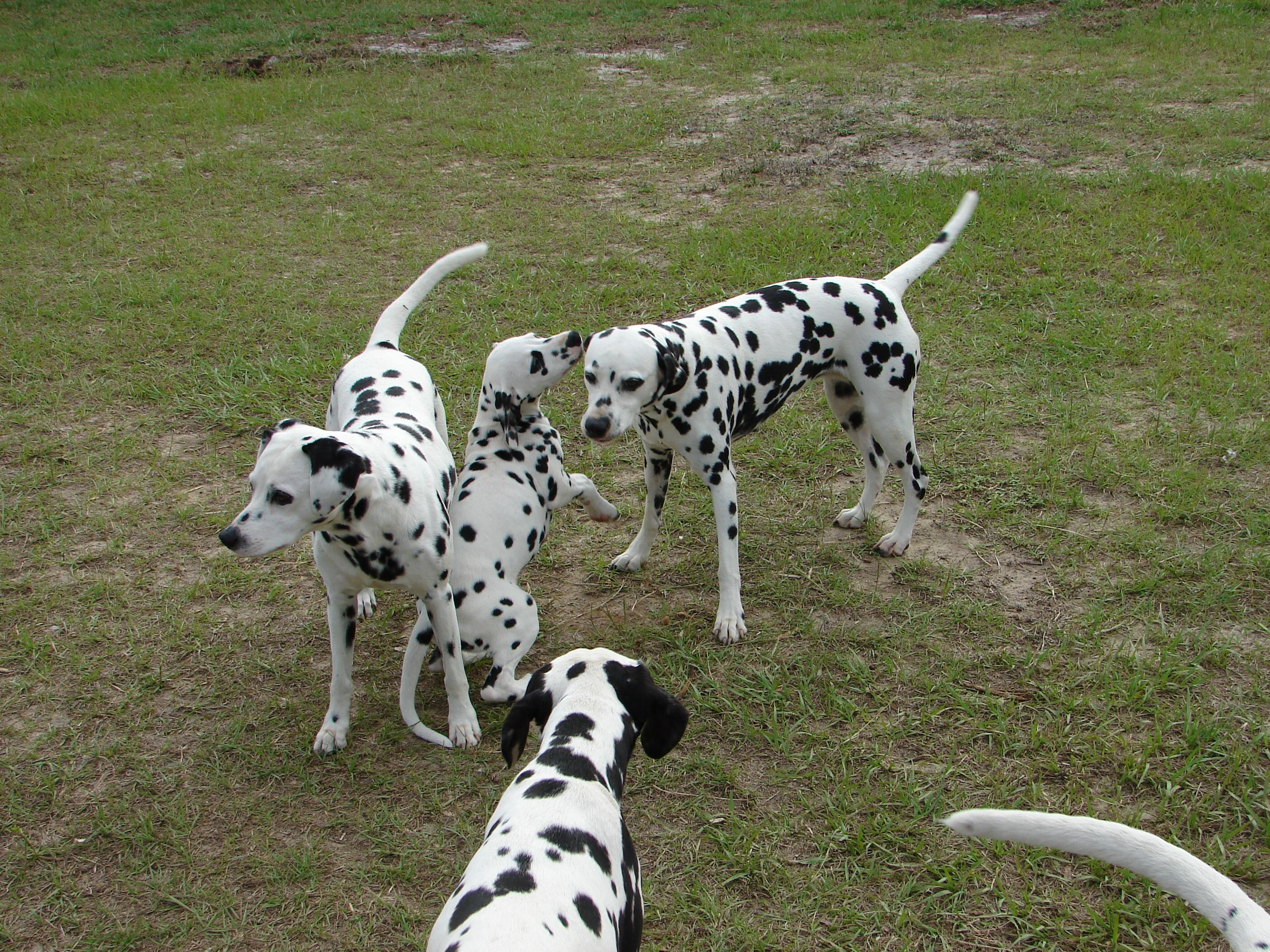 Any Dalmation pups but especially those from Spotlight Dalmations in Florida!