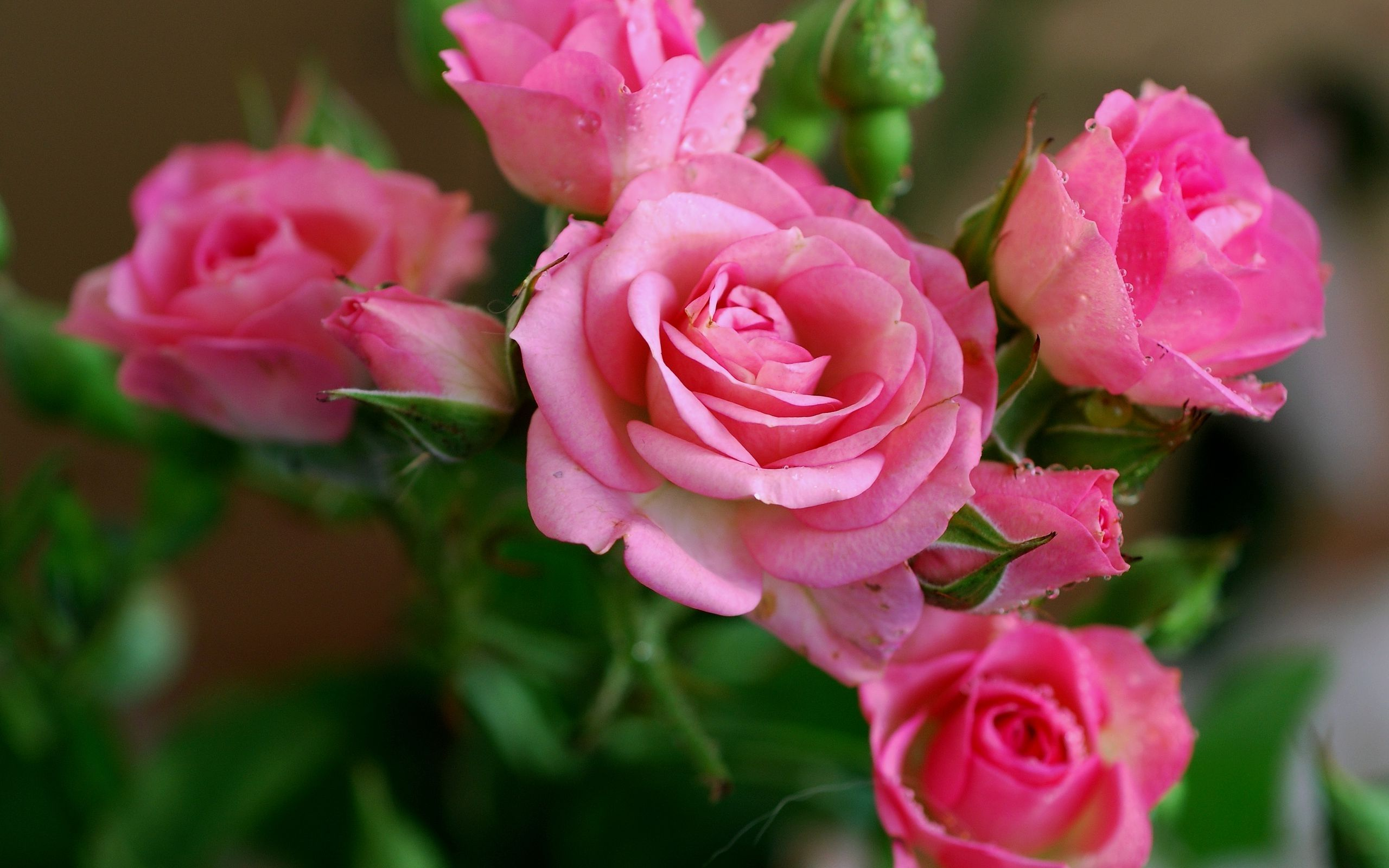 Nature Wallpaper With Pink Rose Flower Pictures Rose Flower