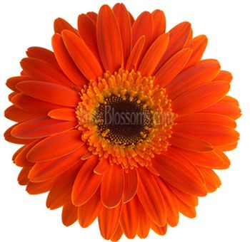 This Is A Perfect Single Flower To Have On The Sashes Around The Waist Bridal Wedding Girls Any Thoughts Orange Wedding Flowers Gerbera Gerbera Flower