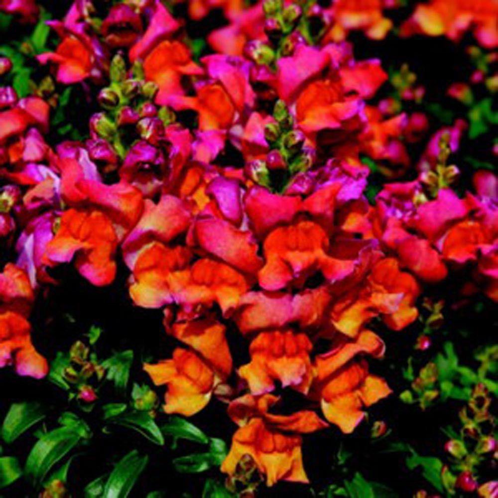 1,000 Pelleted Seeds Snapdragon Montego Sunset Flower