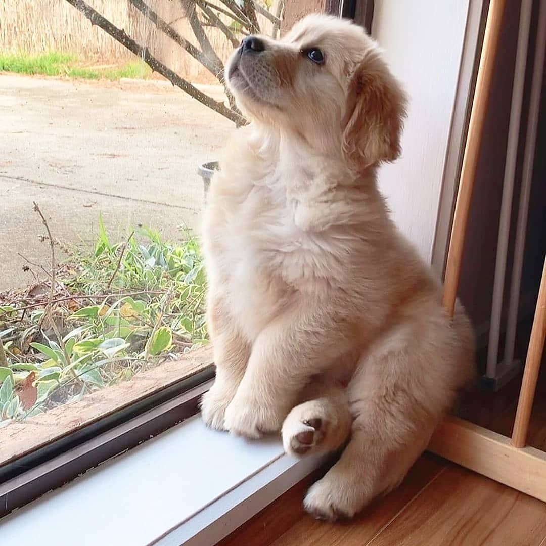 Dog Idea Dog Homes Dog And Baby Dog Projects Dog Cat Dog Ate Dog Home Ideas Home Dog Dog And Puppy Pupp In 2020 Cute Baby Animals Cute Animals Retriever Puppy