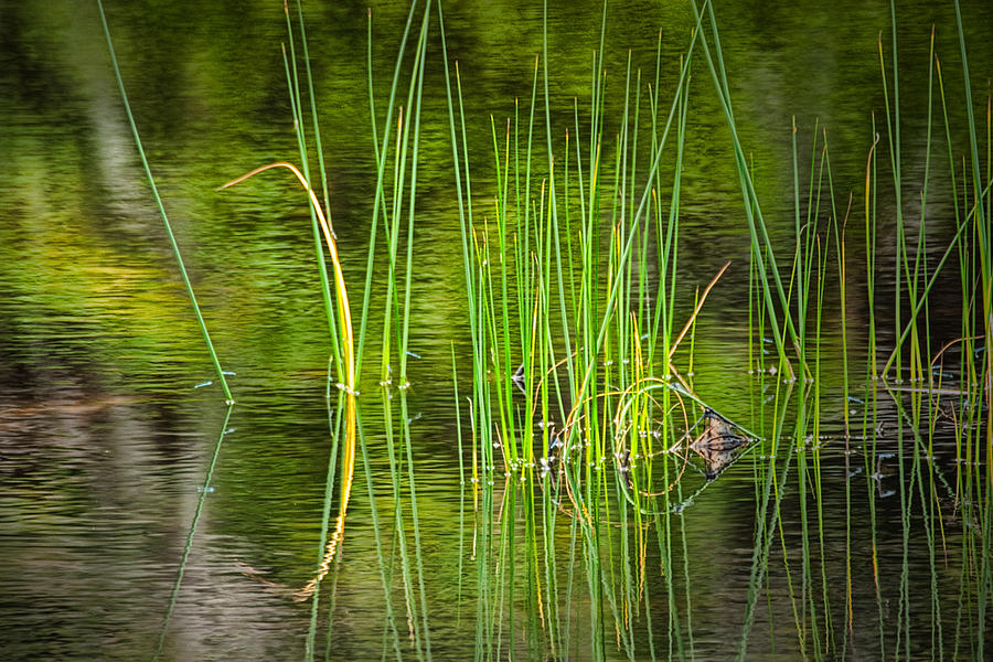 Water Reeds Sticking Out Of A Pond In Vermont Photograph By Randall Nyhof In 2020 Pond Water Vermont