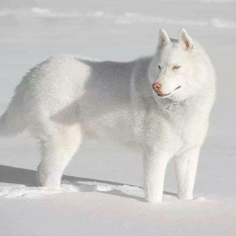 What A Beauty Dog Breeds I Love White Husky Cute Dogs Cute