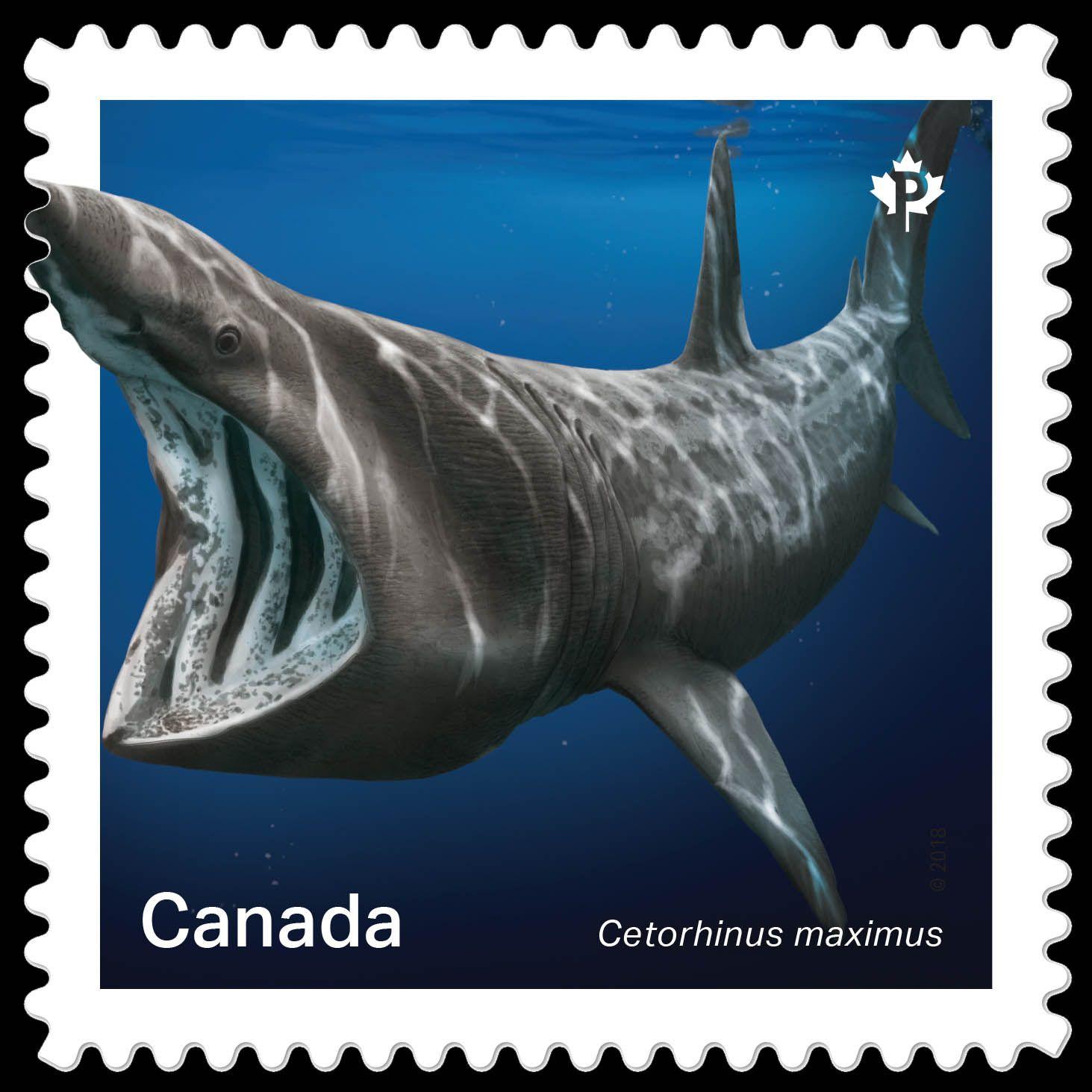 Canada 2018 Sharks In Canadian Water Basking Shark Basking Shark Shark Species Of Sharks