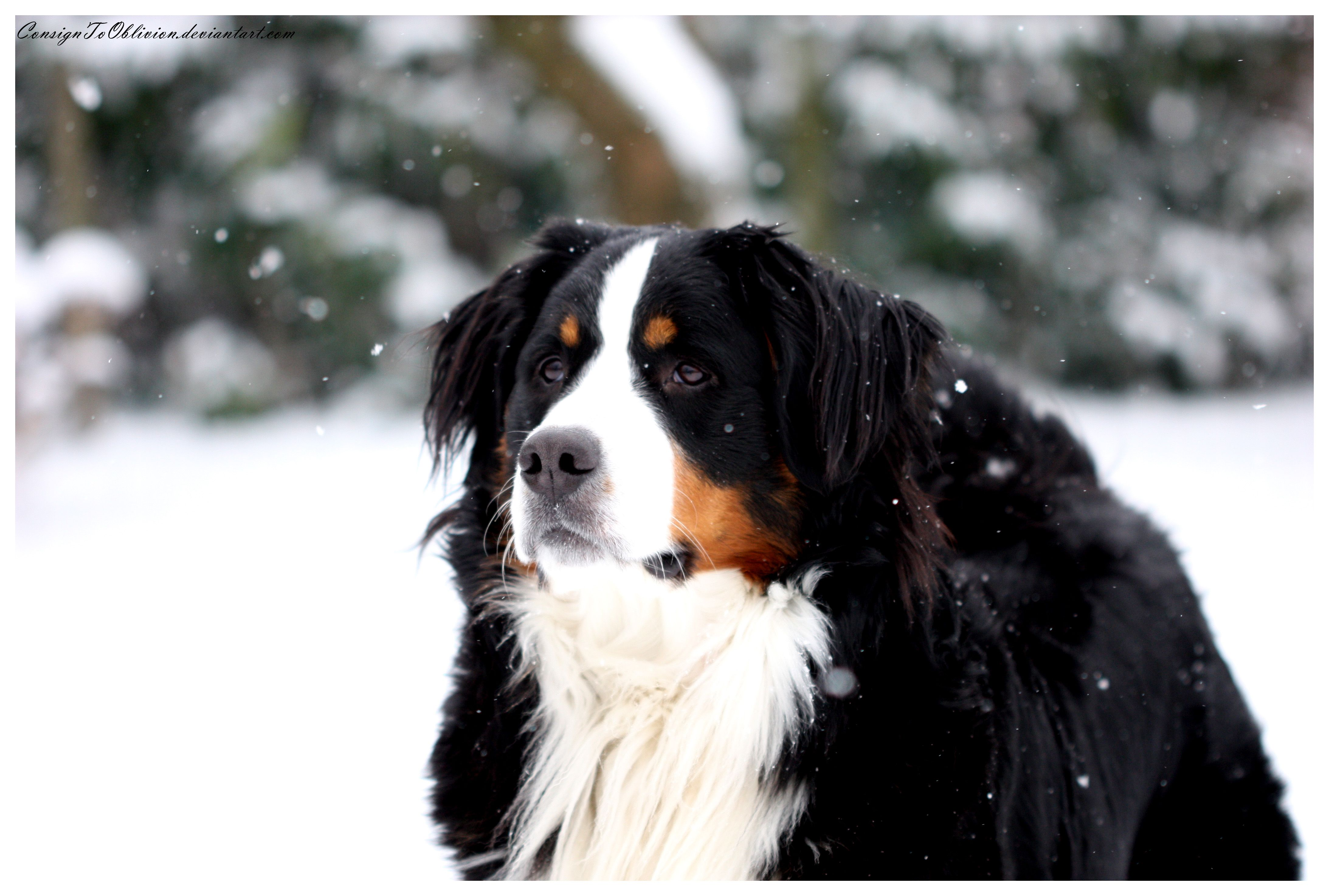 I Have Always Wanted A Berner Sennen Dog Dogs Bernese Mountain Dog Mountain Dogs