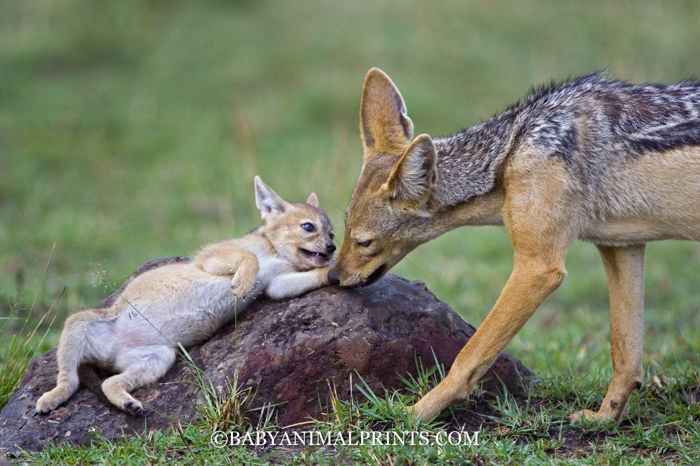 gw2 how to get jackal