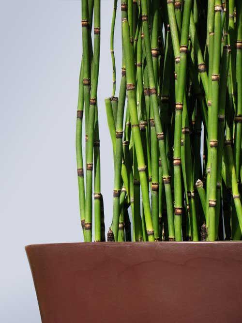 Equisetum Horsetail Horsetail Ceramic Pot Bamboo