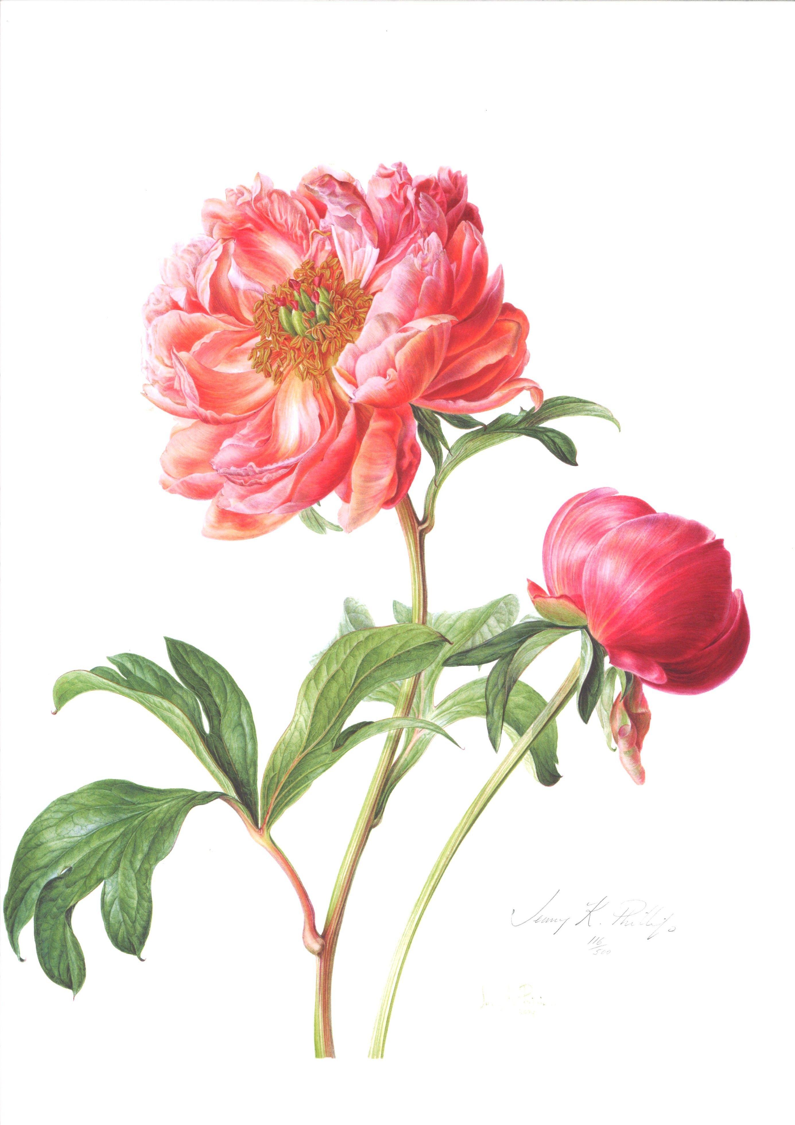 Jenny Phillips Botanical Artist Google Zoeken