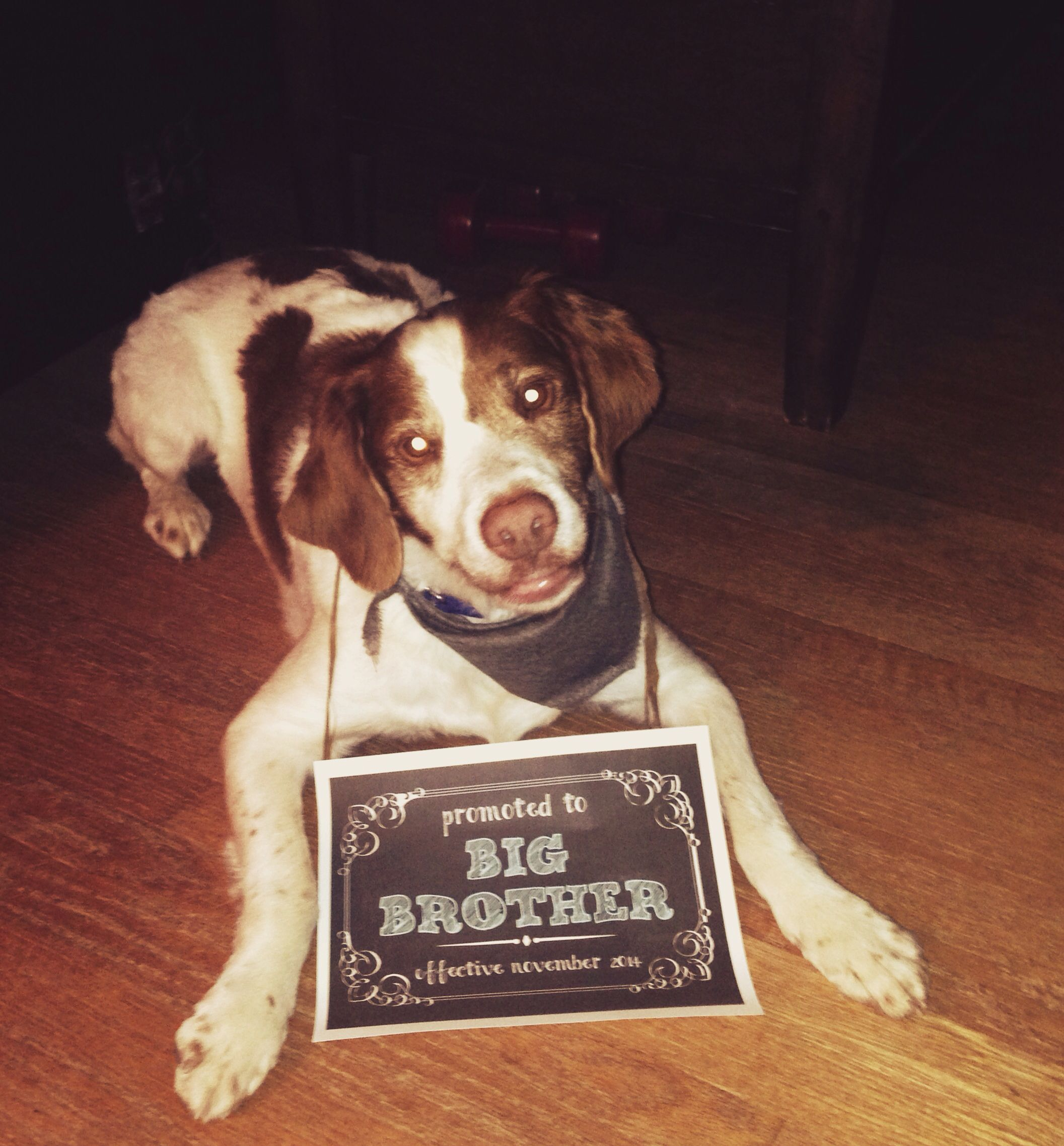 Big brother brittany spaniel